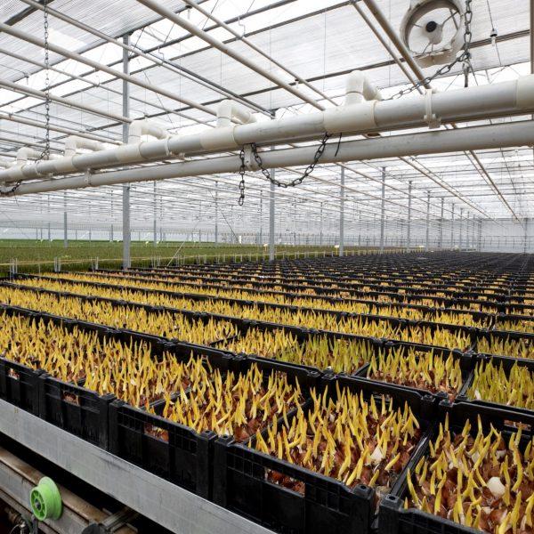 Tulpenbedrijf Wesselman Flowers tulpenleverancier kassen tulips tulpenretail retail tulpen.nl Roelofarendsveen 2019